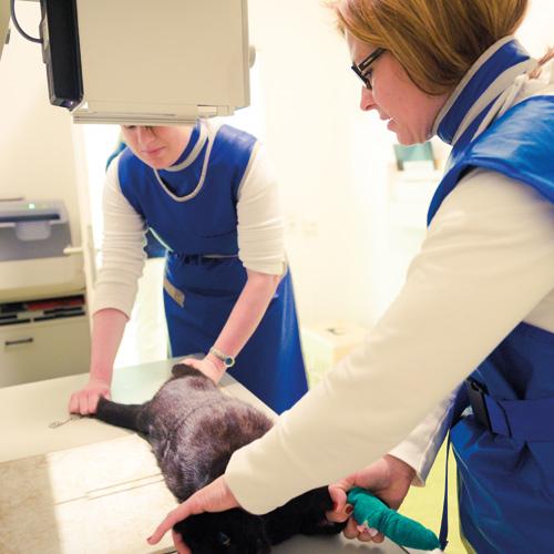 Tierarzt macht Röntgen-Aufnahmen von einer Katze.